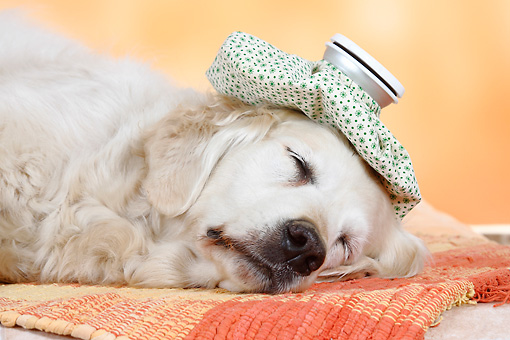DOG 03 PE0001 01 © Kimball Stock Head Shot Of Golden Retriever Sleeping On Rug With Ice Pack On Head