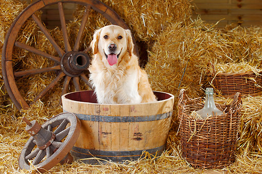 DOG 03 PE0005 01 © Kimball Stock Golden Retriever Sitting In Barrel On Hay