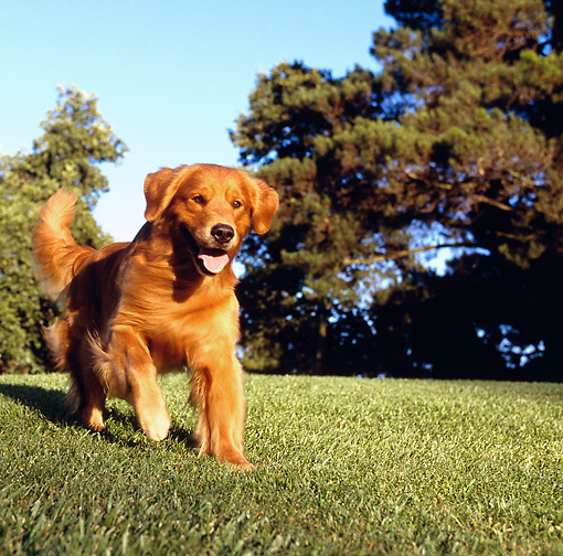 DOG 03 RK0021 06 © Kimball Stock Golden Retriever Running On Grass Toward Camera By Trees Blue Sky