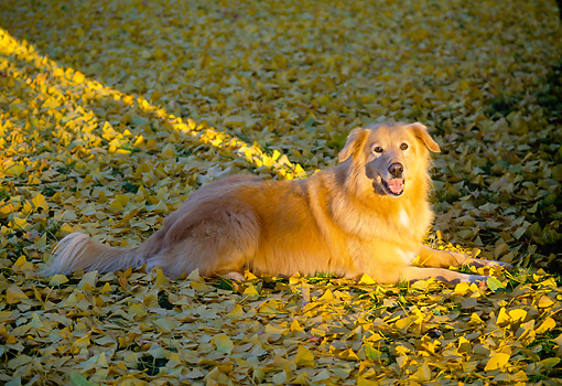 DOG 03 RK0065 03 © Kimball Stock Golden Retriever Mixed Laying On Yellow Leaves