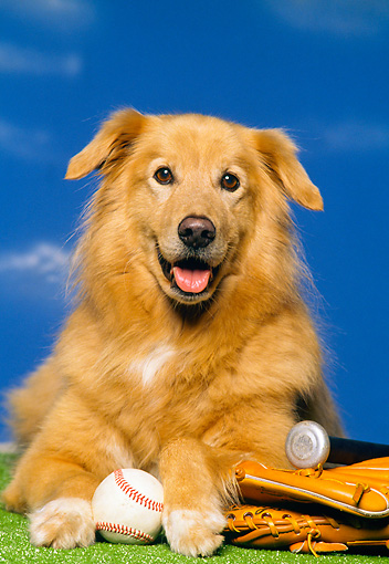 DOG 03 RK0078 01 © Kimball Stock Head Shot Of Golden Retriever Mixed With Baseball Mitt Glove And Bat