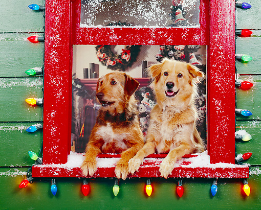 DOG 03 RK0143 01 © Kimball Stock Sunday And Magic Leaning Out Of Window With Christmas Lights
