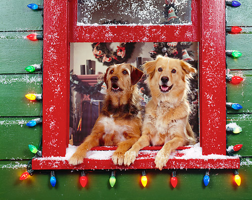 DOG 03 RK0143 02 © Kimball Stock Sunday And Magic Leaning Out Of Window With Christmas Lights