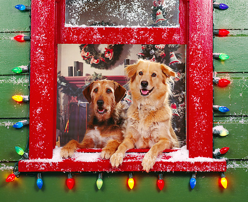 DOG 03 RK0143 04 © Kimball Stock Sunday And Magic Leaning Out Of Window With Christmas Lights