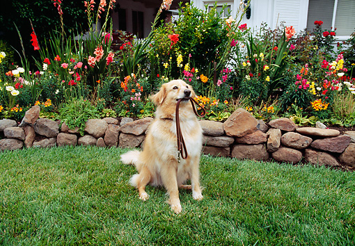 DOG 03 RK0194 05 © Kimball Stock Golden Retriever Mix Sitting On Grass With Leash In Mouth