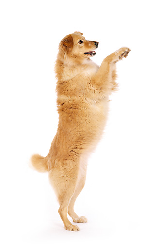 DOG 03 RK0202 03 © Kimball Stock Profile Shot Of Golden Retriever Mix On Hind Legs White Seamless