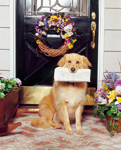 DOG 03 RK0222 07 © Kimball Stock Golden Retriever Mix Sitting With Newspaper In Mouth By Front Door