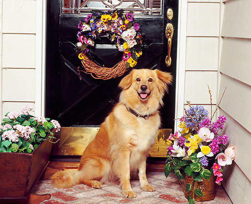 DOG 03 RK0223 03 © Kimball Stock Golden Retriever Mix Sitting In Front Of Door By Flowers