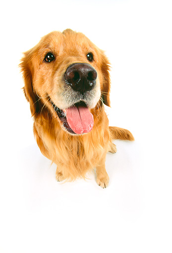 DOG 03 RK0249 23 © Kimball Stock Wide Angle Of Golden Retriever On White Seamless