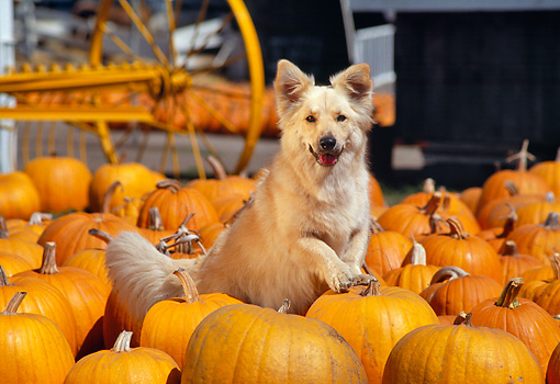 DOG 03 RK0266 02 © Kimball Stock Golden Retriever Mix Sunday Sitting Surrounded By Pumpkins