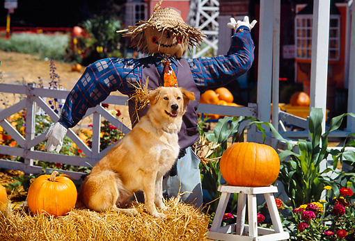 DOG 03 RK0267 01 © Kimball Stock Golden Retriever Mix Sunday Sitting On Hay By Scarecrow And Pumpkins