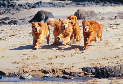 DOG 03 RK0275 09 © Kimball Stock A Group Of Golden Retriever Dogs Running And Jumping  Together On Wet Sand