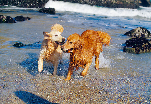 DOG 03 RK0303 08 © Kimball Stock Two Golden Retriever Dogs Walking Together By Shore Playing With Stick