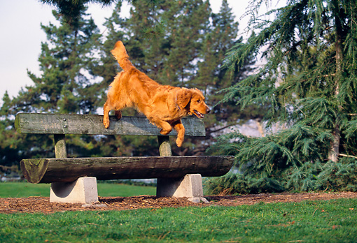 DOG 03 RK0358 05 © Kimball Stock Golden Retriever Jumping Over Park Bench Trees