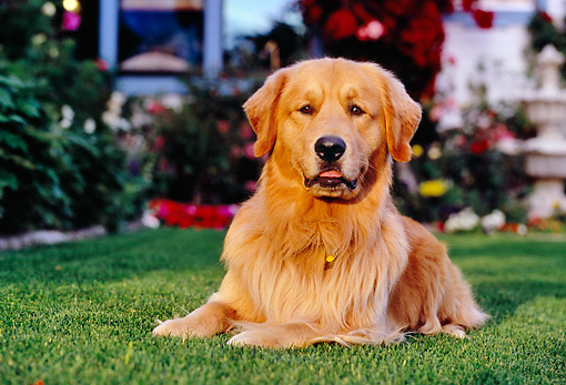 DOG 03 RK0416 05 © Kimball Stock Golden Retriever Laying On Grass By Flowers Fountain Building