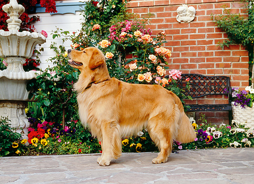 DOG 03 RK0417 06 © Kimball Stock Golden Retriever Standing On Sidewalk By Flowers Fountain Building