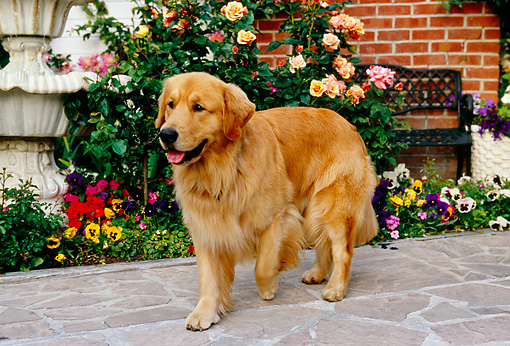 DOG 03 RK0417 07 © Kimball Stock Golden Retriever Standing On Sidewalk By Flowers Fountain Building