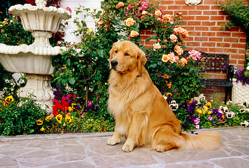 DOG 03 RK0417 15 © Kimball Stock Golden Retriever Standing On Sidewalk By Flowers Fountain Building
