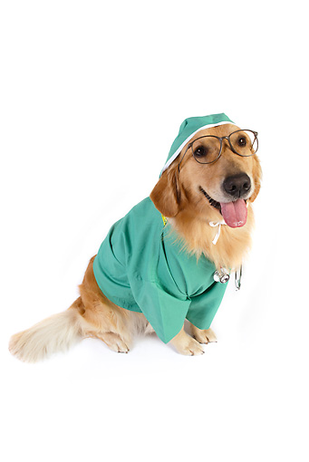 DOG 03 RK0477 01 © Kimball Stock Golden Retriever Dressed Like Surgeon Sitting On White Seamless