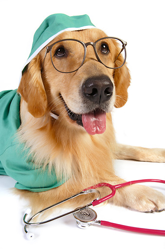 DOG 03 RK0479 01 © Kimball Stock Golden Retriever Dressed Like Surgeon Laying On White Seamless