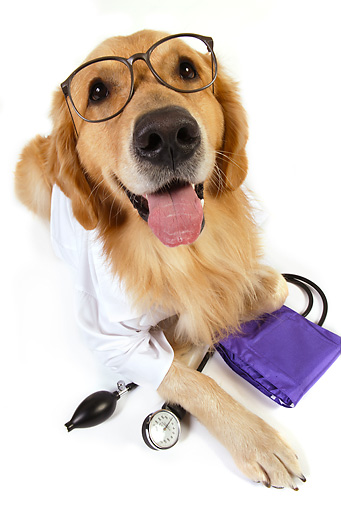 DOG 03 RK0480 01 © Kimball Stock Golden Retriever Dressed Like Doctor Laying On White Seamless