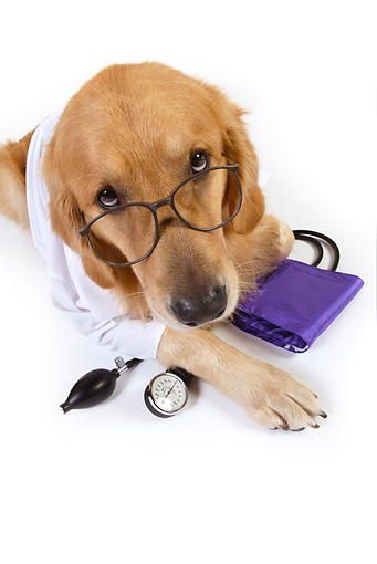 DOG 03 RK0481 01 © Kimball Stock Golden Retriever Dressed Like Doctor Laying On White Seamless
