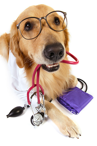 DOG 03 RK0482 01 © Kimball Stock Golden Retriever Dressed Like Doctor With Stethoscope In Mouth Laying On White Seamless