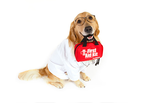 DOG 03 RK0484 01 © Kimball Stock Golden Retriever Dressed Like Doctor With First Aid Kit In Mouth Sitting On White Seamless