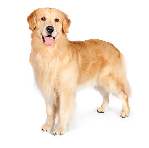 Image result for golden retriever standing white background