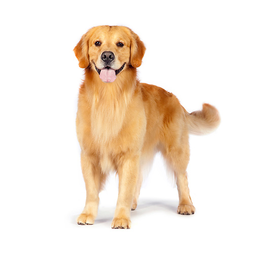 DOG 03 RK0508 01 © Kimball Stock Golden Retriever Standing On White Seamless