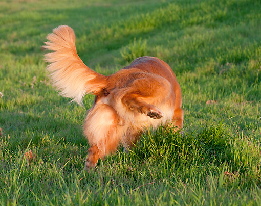 DOG 03 RK0524 01 © Kimball Stock Golden Retriever Lifting Leg On Grass