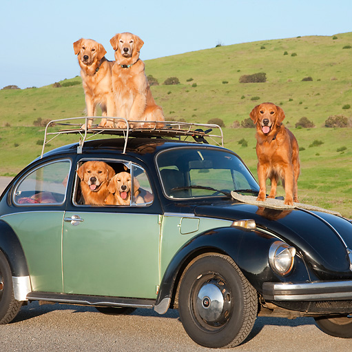 DOG 03 RK0525 01 © Kimball Stock Golden Retrievers Inside And On Top Of Volkswagen Beetle