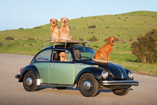 DOG 03 RK0526 01 © Kimball Stock Golden Retrievers Inside And On Top Of Volkswagen Beetle
