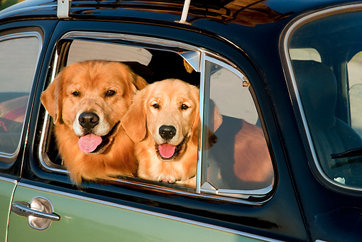 DOG 03 RK0528 01 © Kimball Stock Close-Up Of Golden Retrievers Inside Volkswagen Beetle