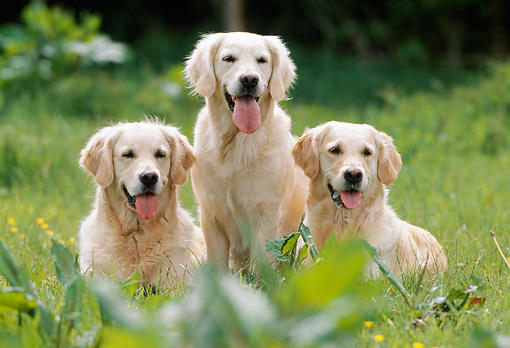 DOG 03 SS0005 01 © Kimball Stock Three Golden Retrievers On Grass