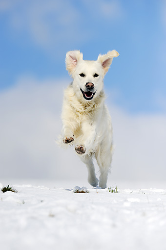 DOG 03 SS0010 01 © Kimball Stock Golden Retriever Running On Snow