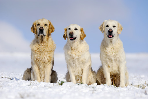 DOG 03 SS0012 01 © Kimball Stock Golden Retrievers Sitting On Snow