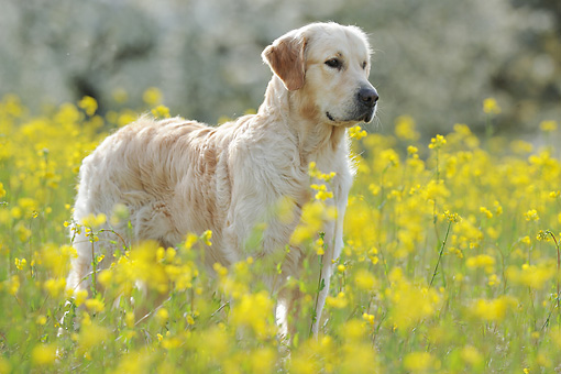 DOG 03 SS0015 01 © Kimball Stock Golden Retriever Standing In Spring Meadow