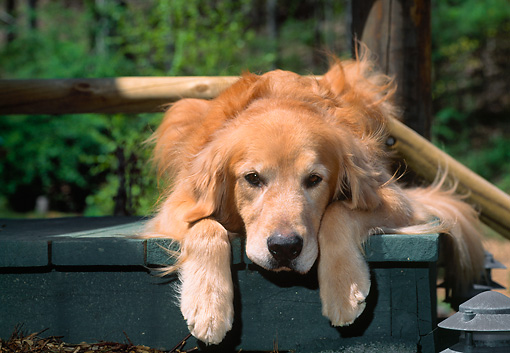 DOG 03 CE0005 01 © Kimball Stock Head On View Of Golden Retriever Laying On Steps