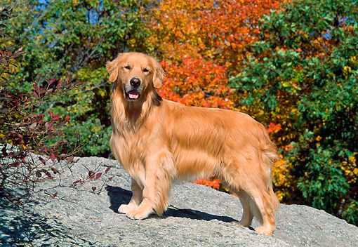 DOG 03 CE0006 01 © Kimball Stock Golden Retriever Standing On Boulder By Autumn Trees