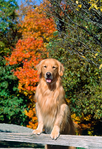 DOG 03 CE0007 01 © Kimball Stock Golden Retriever Stepping On Fence Rail By Autumn Trees