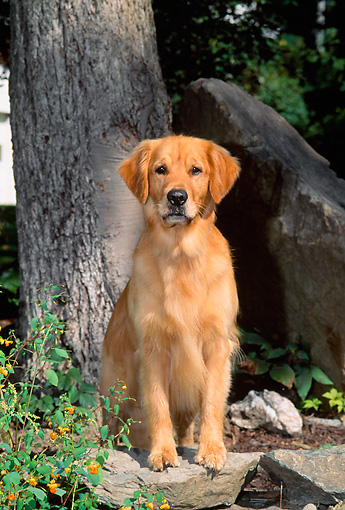 DOG 03 CE0008 01 © Kimball Stock Golden Retriever Stepping On Rock By Tree