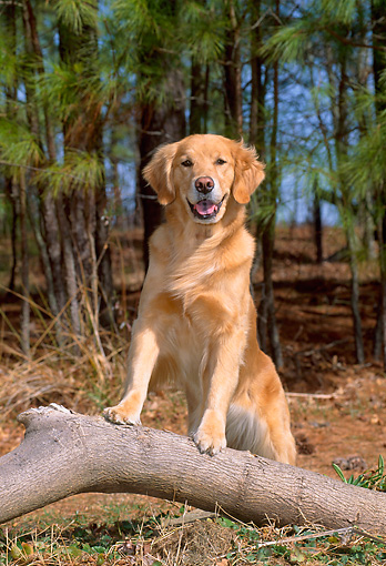 DOG 03 CE0009 01 © Kimball Stock Golden Retriever Stepping On Branch By Pine Trees