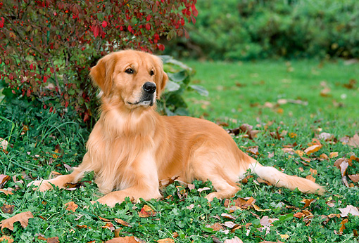 DOG 03 CE0012 01 © Kimball Stock Golden Retriever Laying On Grass By Shrub And Autumn Leaves
