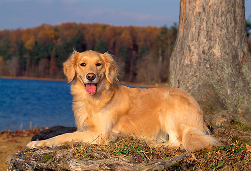 DOG 03 CE0013 01 © Kimball Stock Golden Retriever Laying On Grass By Tree And Lake In Autumn