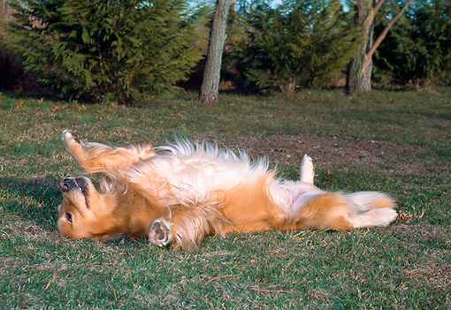 DOG 03 CE0015 01 © Kimball Stock Golden Retriever Laying On Back On Grass By Trees