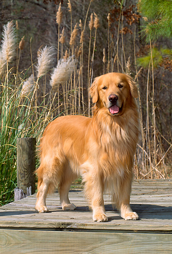 DOG 03 CE0016 01 © Kimball Stock Golden Retriever Standing On Dock By Reeds