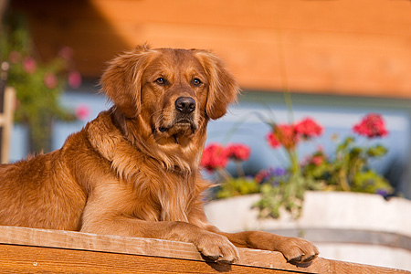 DOG 03 DB0015 01 © Kimball Stock Golden Retriever Laying On Wooden Porch By Flowers