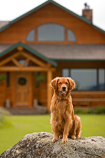 DOG 03 DB0018 01 © Kimball Stock Golden Retriever Sitting On Rock House In Background