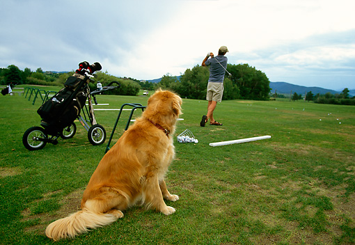 DOG 03 DB0020 01 © Kimball Stock Golden Retriever Watching Man Hitting Balls At Range